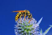 Wasp on Thistles — Stock Photo