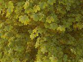 Aesculus hippocastanum Spring — Stock Photo