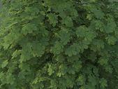 Aesculus hippocastanum Summer — Stock Photo
