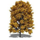 Aesculus hippocastanum (autumn) — Stock Photo