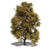 Aesculus x carnea (autumn) — Stock Photo