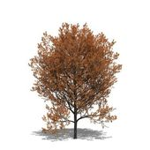 Quercus rubra (autumn) — Stock Photo