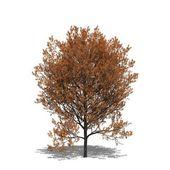 Quercus rubra (autumn) — Stock Photo