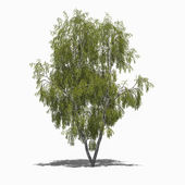 Betula pendula (summer) — Stock Photo