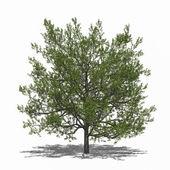 Quercus rubra (summer) — Stock Photo