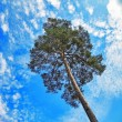 Pine and Sky — Stock Photo