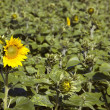 Yellow sunflower on a green sunflower field — Stock Photo