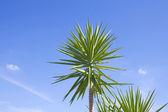 Yucca Palm — Stock Photo
