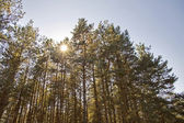 Sun through the treetops — Stock Photo