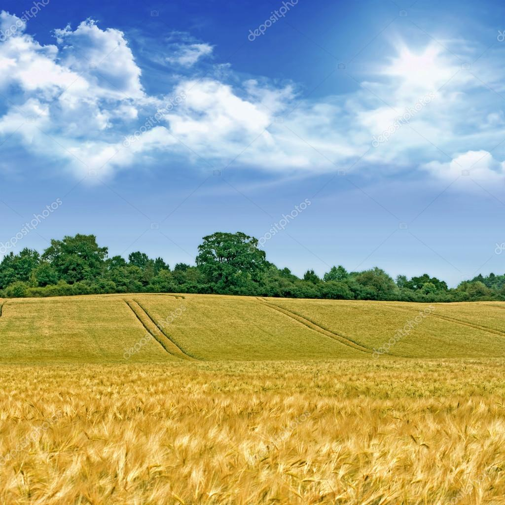 Idyllic cornfield landscape — Stock Photo © aldorado #13982640