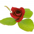 Stock Photo: Red rose with green leaves isolated on white