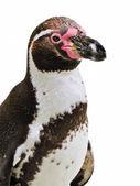 Penguin isolated on White — Stock Photo
