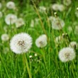 Stock Photo: Blowball, taraxacum
