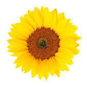 Sunflower (Helianthus annuus) isolated — Stock Photo