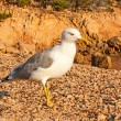 Lesser black-backed gull — Stock Photo