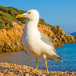 Lesser black-backed gull — Stock Photo #26914513