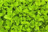 Green fresh leaves — Stock Photo