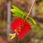 Red bottlebrush — Stock Photo