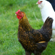 Hens Standing in Grass Field — Stock Photo #32356617