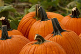 Pumpkin Patch with Pumpkins — Stock Photo