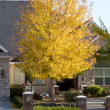 Maple Tree with Fall Colors — Stok fotoğraf
