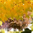 Stock Photo: Golden Maple Leaves