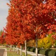Row of Red Maple Trees — Stock Photo