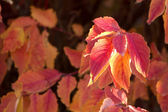 Autumn Red Twig Dogwood — Stockfoto