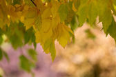 Maple Tree with Fall Colors — Stock Photo