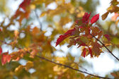 Maple Leaves in Autumn — Stock Photo