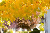 Golden Maple Leaves — Stock Photo