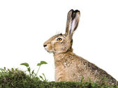 Hare's head isolated — Stock Photo