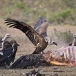Stock Photo: Vultures, mealtime