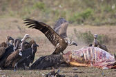 Vultures, mealtime — Stock Photo