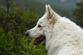 White swiss shepherd dog portrait — Stock Photo