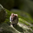 Field mouse, vole — Stock Photo