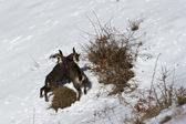 Two young chamois — Stock Photo
