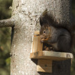 Stock Photo: Red squirrel in tree in garden