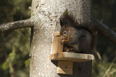 Red squirrel in a tree in a garden — Stock Photo