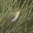 Willow warbler bird on brooms — Stock Photo #14633863
