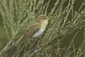 Willow warbler bird on brooms — Stock Photo