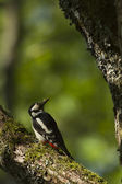 Bird Pied woodpecker female feeding in nesting time — Stock Photo