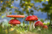Fly agaric mushroom in group in witch ring in autumn — Stock Photo