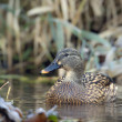 Stock Photo: Duck mallard female bird swimming in river in winter