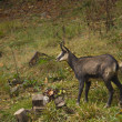Stock Photo: Chamois in wild pasture in Vosges mountain, France