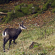 Chamois in wild pasture in Vosges mountain, France — Stock Photo