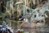 Duck mallard female bird swimming in river in winter — Stock Photo