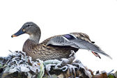 Duck mallard female bird on frozen leaves isolated in white background — Stock Photo