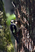Great Spotted Woodpecker bird in nesting time — Стоковое фото
