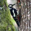 Stock Photo: Great Spotted Woodpecker bird in nesting time